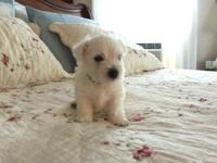Two AKC West Highland White terrier puppies, born June