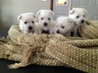 AKC West Highland White Terrier puppies for sale. -