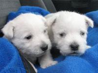 This well loved litter of happy, healthy, AKC white