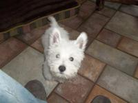 AKC westie puppies, 10 weeks old ready for loving