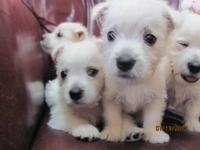 www.nancys-westies.com AKC Registered West Highland