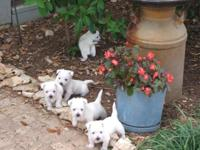Adorable AKC puppies ready for new homes. Our puppies