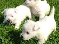 AKC West Highland White Terrier puppies born July 15. 1