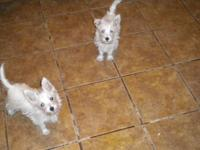 akc westie puppies males and females 600.00 limited reg