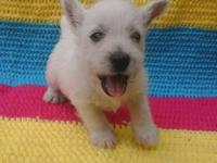 Akc Westie puppies for sale. One male left and we have