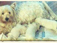 AKC West Highland White Terrier puppies available