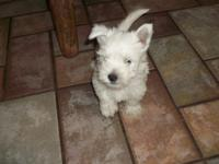 AKC Westie, West Highland White Terrier. males and