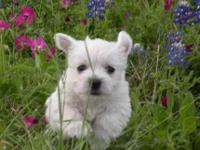 I have been a westie breeder for over 15 years. I take