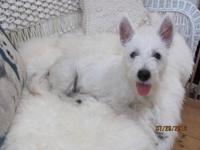 www.nancys-westies.com/puppies.html Brody is now 3 1/2