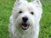 AKC registered, champion grandsired westie puppies,