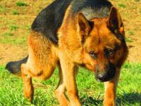 I have 4 year old male German Shepherd available for