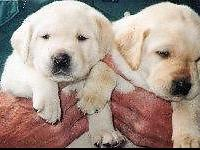 AKC English WHITE AND YELLOW Labrador Puppies. Health