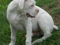 I have one AKC White Male Boxer he is 7mths old. 500.00