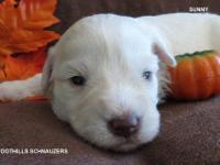 This gorgeous little guy is Sunny. He is an AKC White