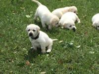 I have a litter of AKC registered Lab Puppies. They are