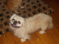 Pearl is a beautiful,AKC, white,9 year old,16 lb,