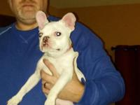 AKC white F Frenchie requires great home. Great