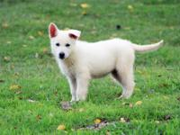 AKC Registered Solid White Female Puppy Sire: Silver