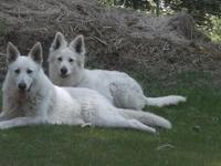 2 Female White AKC German Shepherds for sale. Shots,