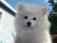 We have a beautiful tiny AKC white pomeranian born June