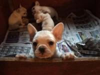 I have three lovely white AKC French bulldog puppies