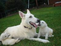 AKC White German Shepherd Puppies 1st Shots, Vet