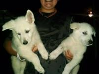 I have two beautiful AKC registered White German