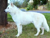 Stunning, White German Shepherd STUD offered for sale