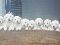 AKC English golden retriever female puppy. Top pick of
