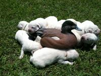 AKC White Lab puppies born on 5/6/13 will be ready on