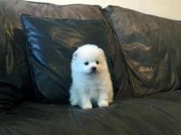 AKC white male Pomeranian, he is so cute, His Dam and