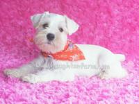 Akc white miniature schnauzer, she is 9 weeks old and