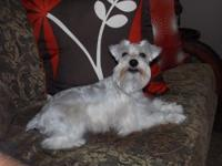 """Lala"" our white miniature schnauzer is looking for her"