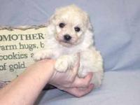 Toy poodle male Tiny Toy Male D.O.B.: 5/9/2012: Weight: