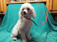 AKC White female toy poodle, 10 months old. She is not