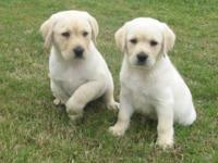 Lovable and beautiful AKC Registered Labrador Retriever