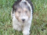We have AKC Wire Fox Terrier young puppies for sale.