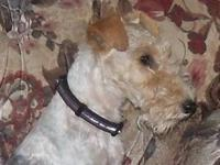 Fantastic litter of AKC Wire Fox Terriers due this