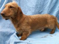 ARTHUR...is the last dachshund I have for sale....he is