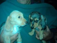 Puppies pictured are ready now Wirehair dachshunds born