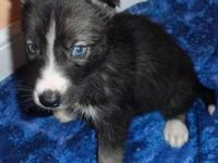 male Siberian husky puppy with blue eyes, wolf grey or