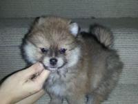 9 week old AKC wolf sable Pomeranian puppy. Extra