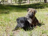 We have pure working line German Shepherd puppies for