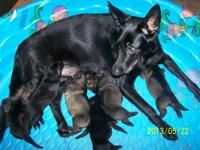 AKC Workingline German Shepherd Puppies for sale. Born