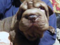 AKC CHINESE SHAR-PEI WRINKLY PUPS! Beautiful AKC