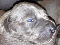 AKC BLUE EUROPEAN PUPPIES WILL BE READY 1 WEEK BEFORE