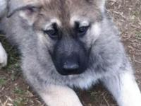 AKC reg XL GERMAN SHEPHERDS puppies taking deposit now