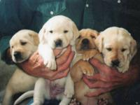 AKC Yellow , Lab Pups Blocky heads and stocky body,