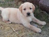 AKC yellow and black labrador puppies ready for his new