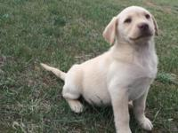We have two AKC Light Yellow male Lab pups. These pups
